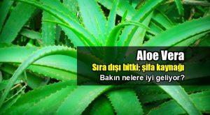 Aloe Vera Faydaları Nelerdir 1